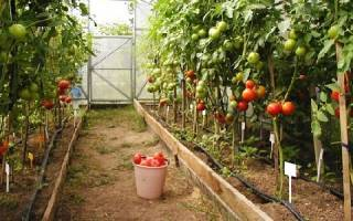 Как поливать помидоры в теплице осенью?