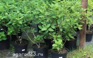 Обрезка гортензия садовая посадка и уход в открытом грунте
