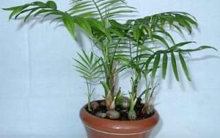 Название пальма домашний цветок