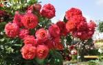 Роза кимоно уход осенью