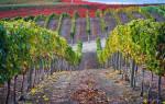 Виноград из черенков посадка и уход осенью