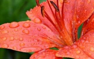 Лилии посадка и уход в открытом грунте осенью после цветения