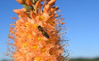 Эремурус посадка осенью и уход в открытом грунте