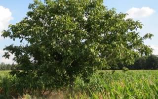 Уход за деревом ореха грецкого