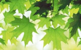 Антеннария выращивание из семян