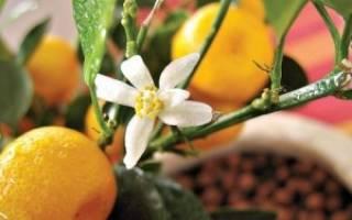 Orange citrina растение как ухаживать