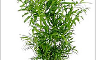 Семейства пальмовых комнатные растения