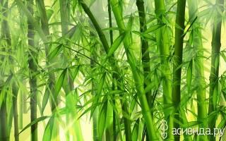 Бамбук в саду посадка и уход
