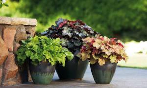 Можно ли выращивать гейхеру как комнатное растение?