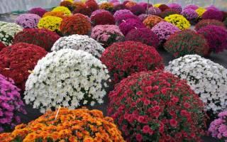 Шаровидные хризантемы посадка и уход осенью укрытие на зиму
