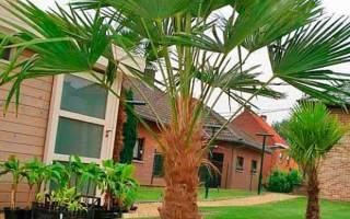 Растения комнатные типа пальмы