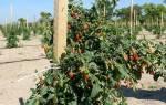 Уход за ягодами годжи осенью