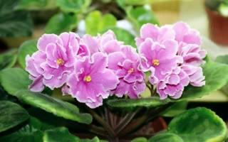 Какие комнатные цветы приносят удачу?