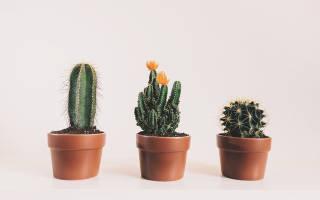 Пустынный кактус в домашних условиях