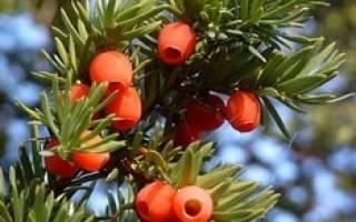 Тис ягодный уход и посадка осенью