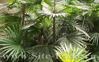 Рапис пальма уход в домашних условиях