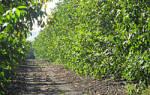 Как ухаживать за деревом ореха грецкого?