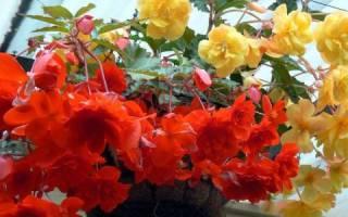 Лиственно декоративные комнатные растения