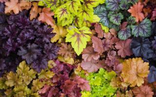 Особенности выращивания гейхеры в саду