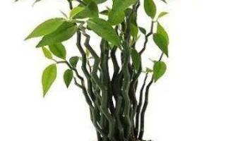 Комнатный цветок педилантус можно ли держать дома