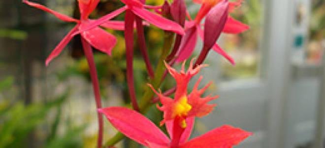 Орхидея эпидендрум уход в домашних условиях