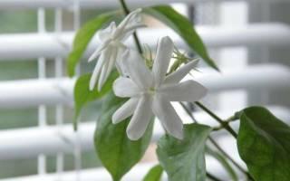 Почему не цветет комнатный жасмин домашних условиях?