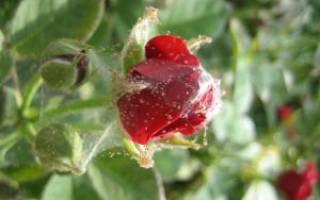 Как бороться с паутинным клещом на комнатных розах?