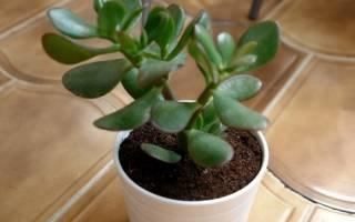 Комнатные растения приносящие удачу и деньги в дом