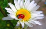 Как можно размножить розу черенками?