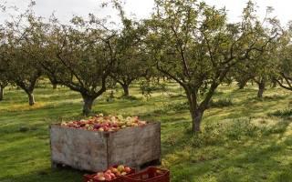 Уход за яблонями осенью обрезка на зиму