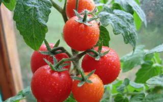 Полив томатов в теплице из поликарбоната во время плодоношения