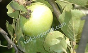 Каталог фруктовых деревьев и кустарников
