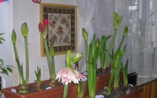 Уход за гиппеаструмом в домашних условиях осенью