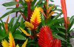 Цветок вриезия как ухаживать в домашних условиях