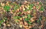 Уход за клубникой осенью подкормки удобрениями