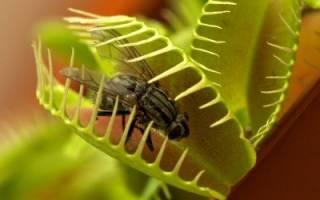 Венерина мухоловка как ухаживать в домашних условиях