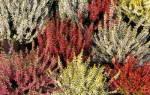 Вереск садовый и декоративный: описание цветка