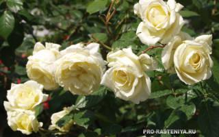 Кустовая роза рамблер уход опоры