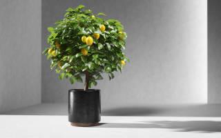 Комнатные растения кустарники и деревья
