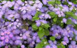Особенности выращивания агератума