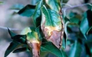 Ржавчина на листьях комнатных растений чем лечить