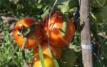 Норма полива томатов в теплице капельным поливом под куст