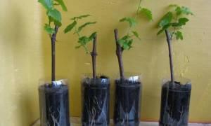Как сделать рассаду винограда из черенка?