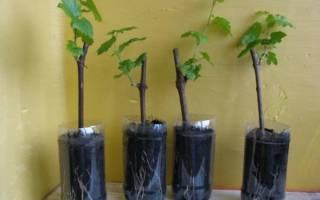 Как вырастить саженцы из черенков винограда?