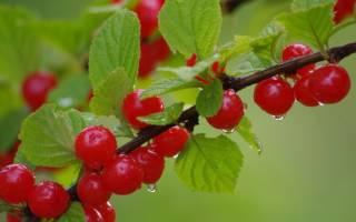 Выращивание вишни в подмосковье в открытом грунте