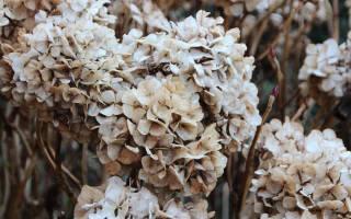 Гортензия уход осенью на урале