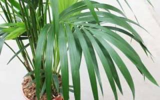 Пальмы виды и названия комнатные