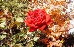 Уход за розами осенью в октябре