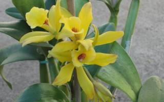 Ваниль растение в домашних условиях
