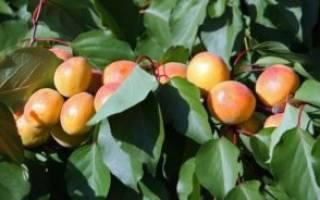Как ухаживать за абрикосом?